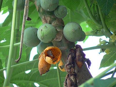 papayes.jpg