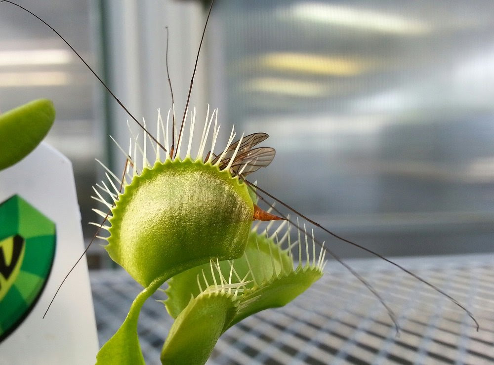 Amazon.com : Venus Fly Trap Plant - Carnivorous - 3