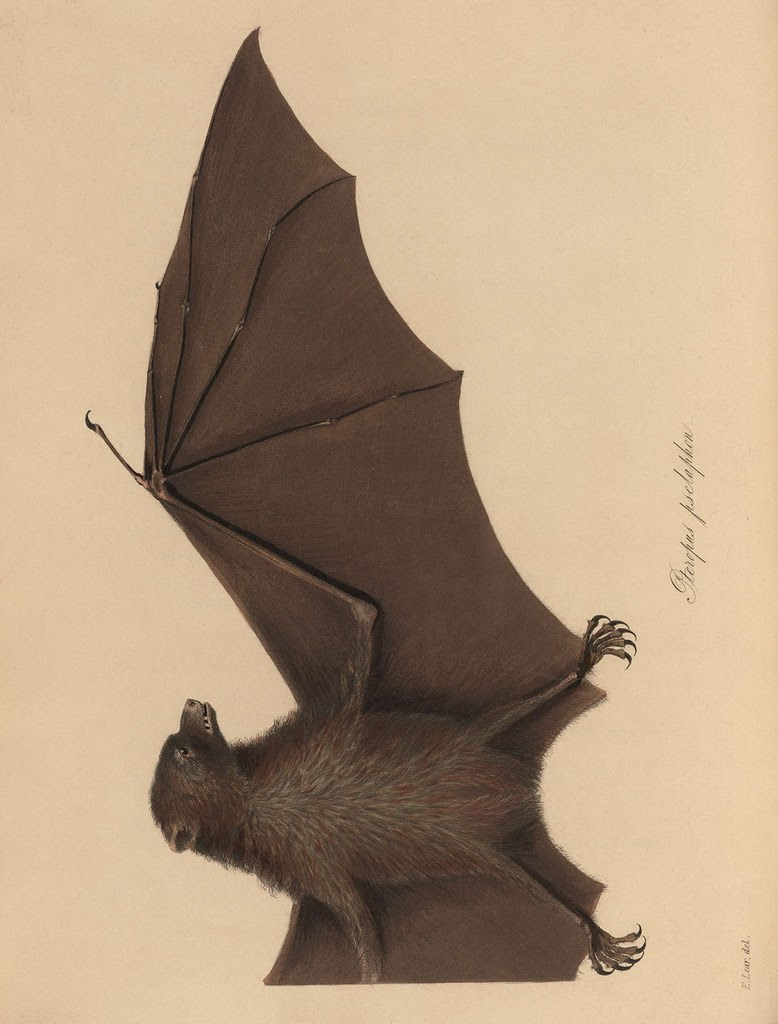 1820s zoology of Captain Beechey - Pteropus pselaphon