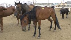 17.08.2013_CH.SG.03_Starving horse_ Ruben Brito Pens_Presidio_TX (1)