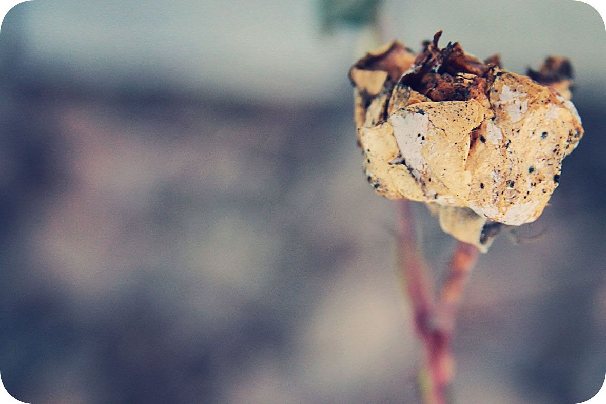 1.17, Even this withered rose has a beauty - but how I long to see my roses in bloom again!