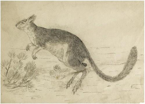 Wallaby (pencil and wax crayon)