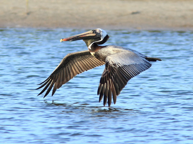 Brown Pelican 3-20130311