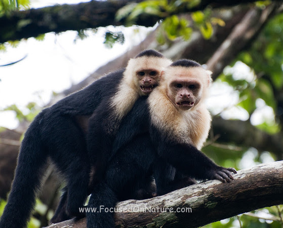 White Faced Capuchins