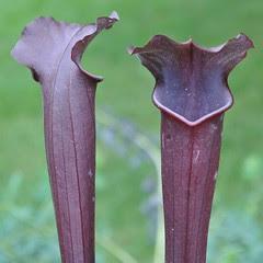 Sarracenia alata x flava - open-pollinated
