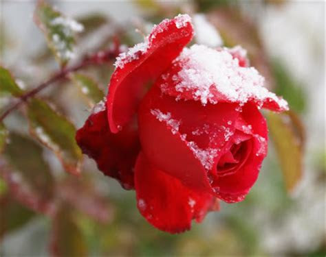 beautiful snow roses hd images