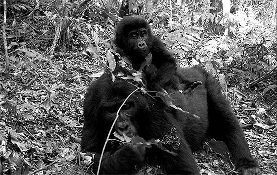 A câmera é aciona com a aproximação de um bicho, como na foto com o gorila-da-montanha; veja galeria de fotos