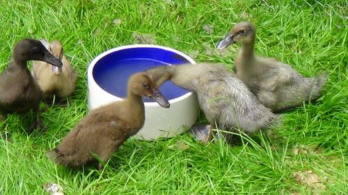 ducklings June 13 4