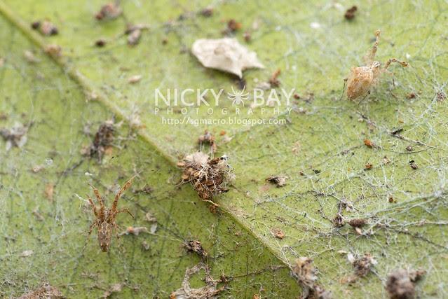 Feather-Legged Spider (Uloboridae) - DSC_6470