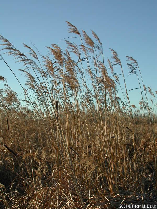 Phragmites Australis Subsp Americanus American Common Reed