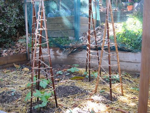 bean poles and squash hills