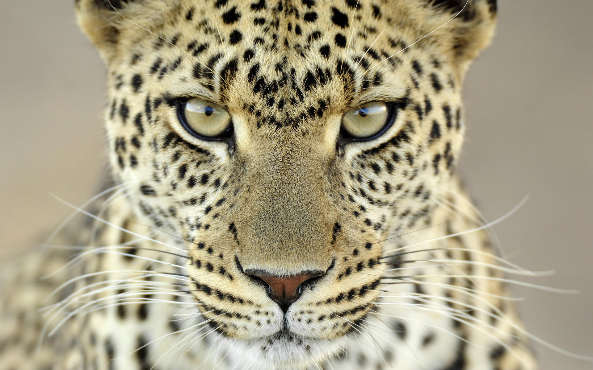 Big Cats Images Leopard Hd Wallpaper And Background Photos 40623425