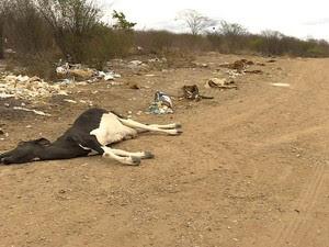 PREP_ Animais mortos por caus ada seca no Nordeste (Foto: TV Globo)