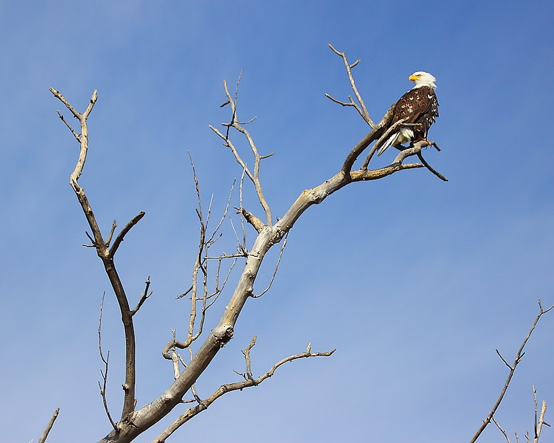 IMG_6462 Bald Eagle