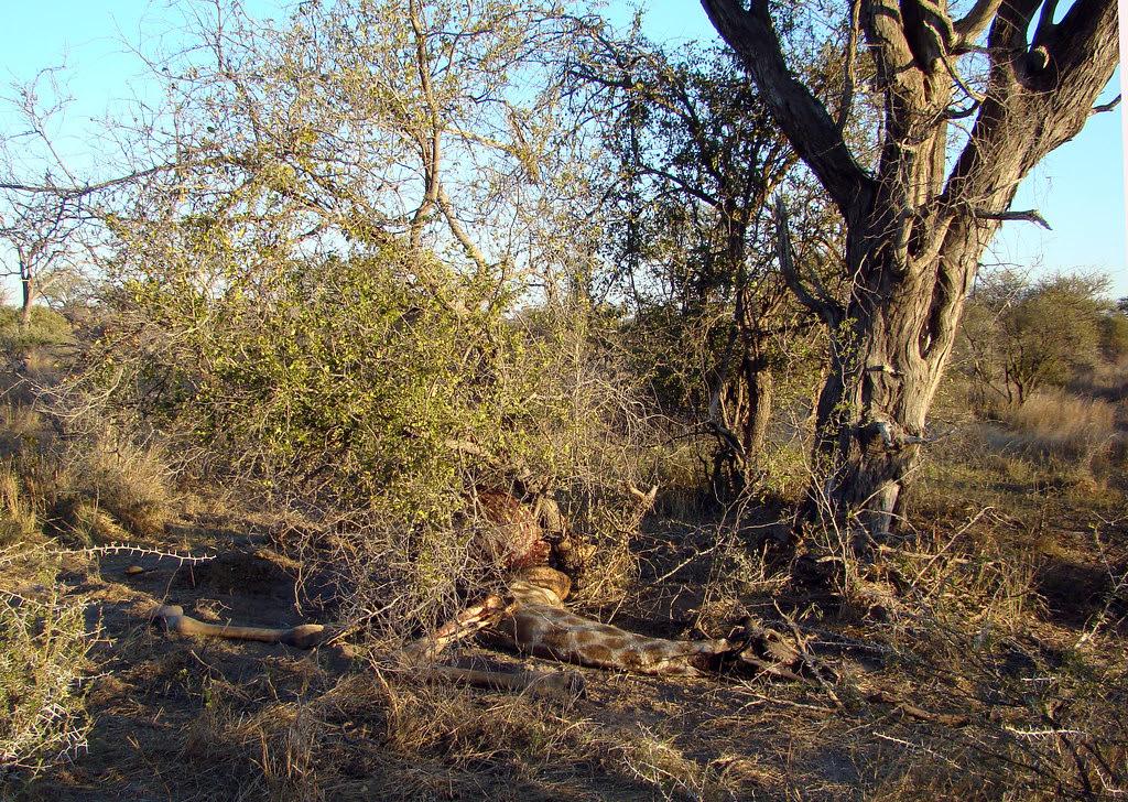 DSC08434 Giraffe carcass