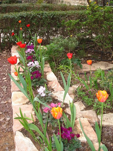 Tulips and cyclamens