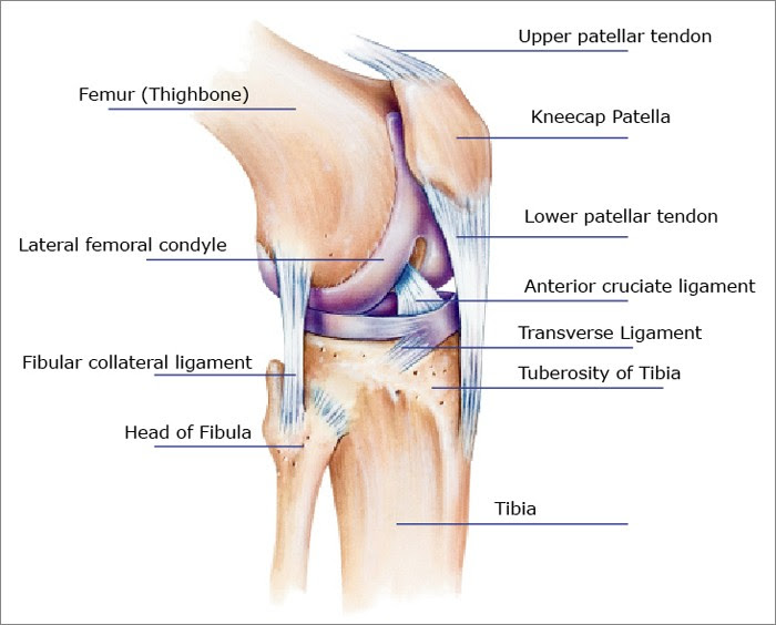 Knee diagram acl pcl mcl ccuart Gallery