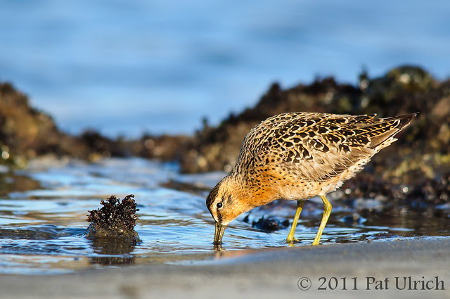 Feeding short-billed dowitcher - Pat Ulrich Wildlife Photography