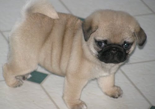 Toilet Trained Pug puppies for sale for sale in Tunbridge. Toilet Trained Pug puppies