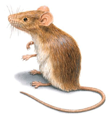 House Mouse Control: Get Rid of House Mice