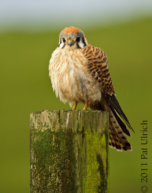 Kestrel in Point Reyes with tail showing - Pat Ulrich Wildlife Photography
