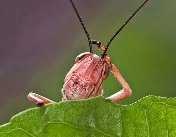 perierga.gr - Μια προβληματισμένη... ροζ ακρίδα!
