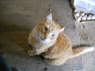 William Our Orange Cat