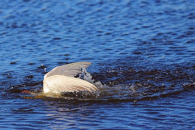IMG_4750 Forster's Tern