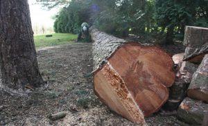 veszélyes fa kivágása Sashalom