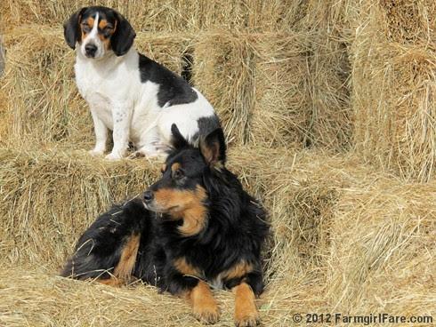 Bored beagle and stoic stock dog 2 - FarmgirlFare.com