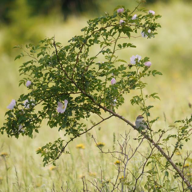 Ed Gaillard: birds &emdash; Chipping Sparrow, Prattsville NY