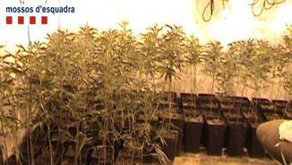Els Mossos van decomissar unes 7.000 plantes de marihuana