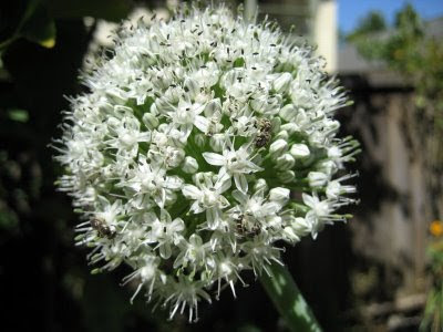 photo of onion flowers