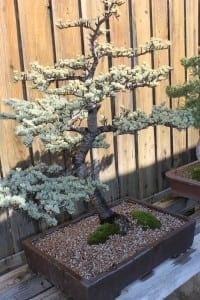 Himalayan Cedar Bonsai