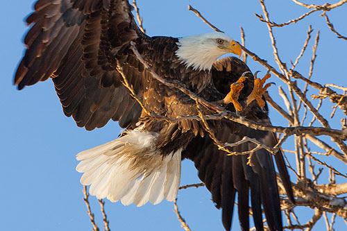 Keokuk Eagle
