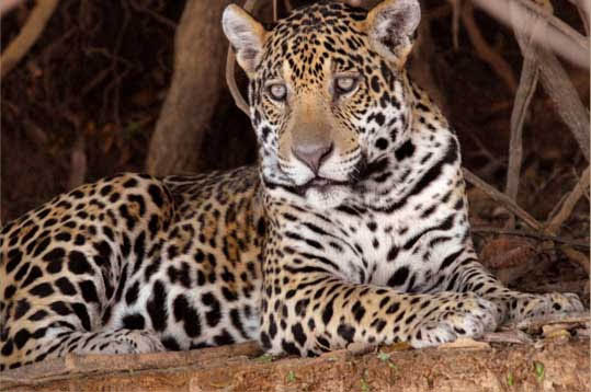 All Animal Pictures: Jaguar Amazon Rainforest Animals