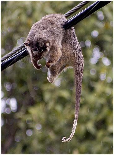Very tired possum by Oz Lomography