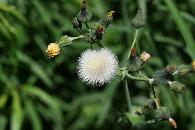 Dandelion, Naito Pkwy