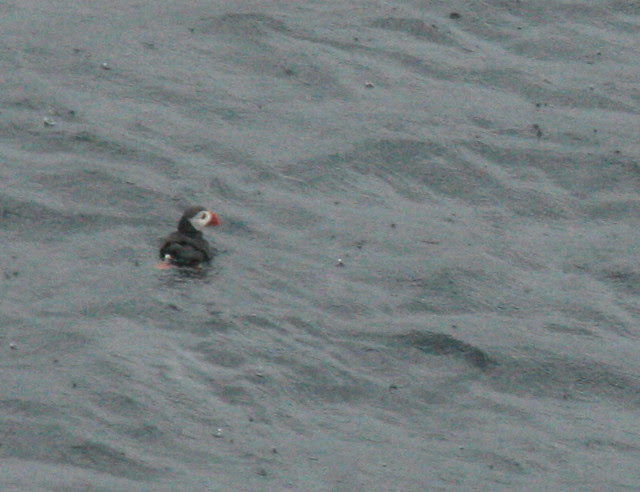 IMG_4822 puffin at nordkapp