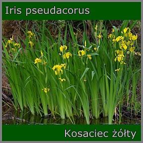 Iris pseudacorus - Kosaciec żółty
