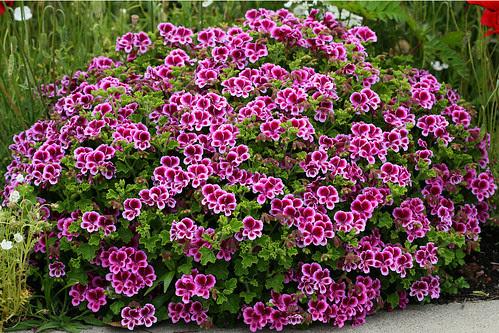 pelargonium veronica contreras