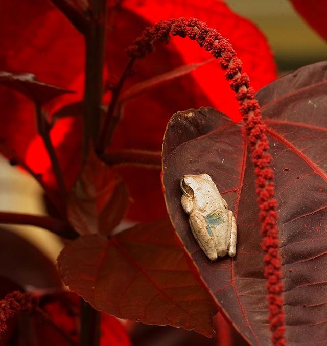 -- Tree frog,                                       Sarasota, Florida --