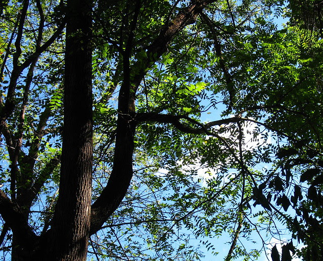 skywatch trees cld s IMG_0054