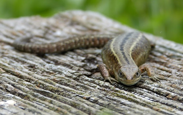 27533 - Common Lizard, WWT London