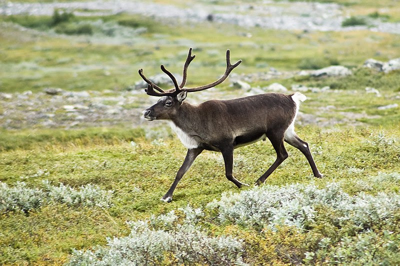 File:20070818-0001-strolling reindeer.jpg