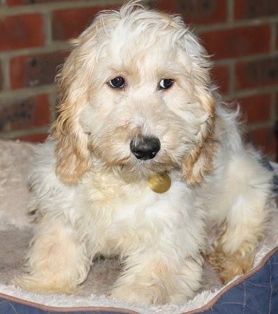 Drake – 6 month old male Cockapoo