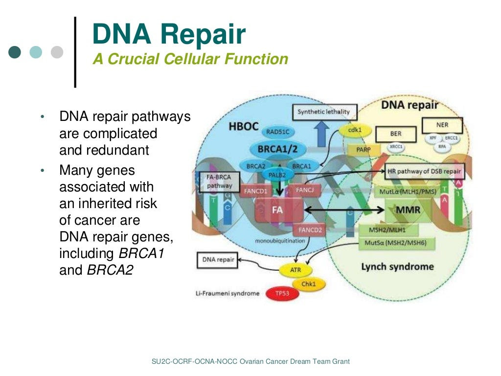 http://image.slidesharecdn.com/swisher-final-160322192615/95/dna-repair-therapies-for-ovarian-cancer-6-1024.jpg?cb=1458674956