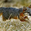 Island Fox California