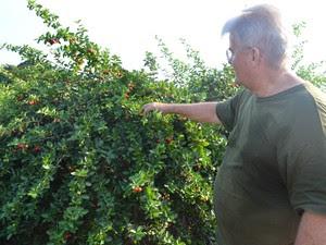 Para chegar a variedade existente na plantação, Caliman fez experimentos com as 52 variedades. (Foto: Luana Leão/G1)