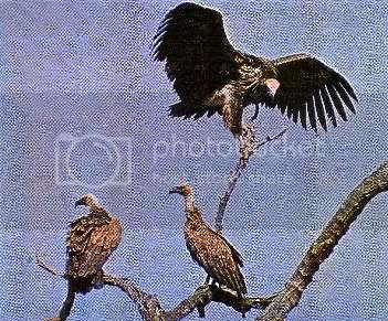 BLACK VULTURE and WHITE-BACKED VULTURE